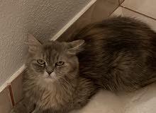 قطه شيرازي أمريكي