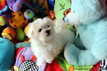 Outstanding Super pedigree Maltese puppies