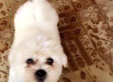 كلب مالتيز دلع عمره شهرين