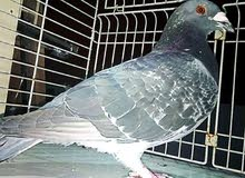 I want this kind of racing pigeon any one selling