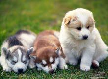 تربيه جميع انواع الكلاب بسعر مناسب        واتساب فقط 95518340