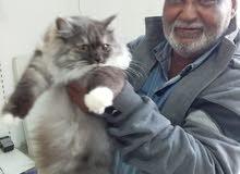 قطة ميني فيس  للبيع