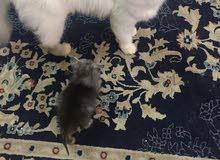 قطه شيرازيه انثى جميله