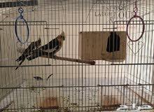 لبيع طيور كروان