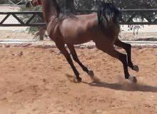حصان عربي واهو للبيع العمر 4 سنوات مسجل