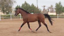 للبيع حصان عربي فلات ريس