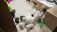 تطعيمات القطط