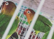 توفير طيور الحب حسب طلب