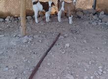 للبيع مزاد تيوس زكور عماني العدد 2