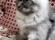 قطه صغيره انثي  تايجر