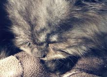 Gray kitten male 2 month old .. like to play allot