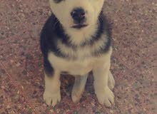 husky siberian  two & half months old with waterproof house