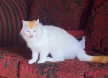 قطه شيرازيه للتزاوج