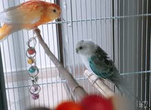 pair of Parakeet for sale