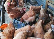 دجاج احمر للبيع