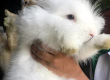Selling 7 months old, male rabbits and their cage