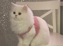 قطه كات فيس أنثى لعوبة