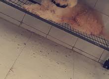 للبيع كلبه هفانيز انثى نوع الزينه