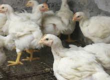 دجاج وزن 800 جرام مع التوصيل
