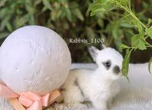 أرانب فرنسية