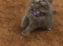 قط شيرازي النعيرية