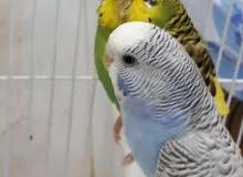 جوز طيور الحب بادجي منتج للبيع