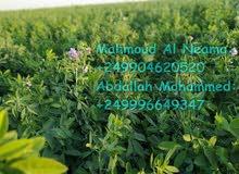البرسيم السوداني Sudanese Alfalfa