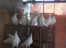 مجموعة لواحم جامبو