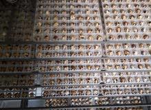 بيض فري مخصب للفقاسات شامل التوصيل نسبة تخصيب عاليه ومكفول