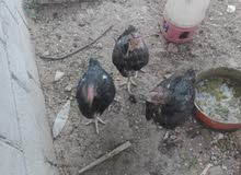 دجاج باكستاني مع فقاسه بسعر مغري