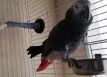 للبيع طير كاسكو افريقي رصاصي اللون.