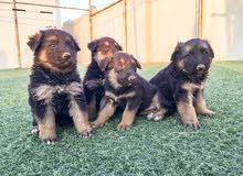 جراء جيرمن شيبرد -  German Shepherd puppy's for sale