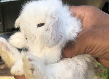 ارانب ميني لوب mini lop rabbit
