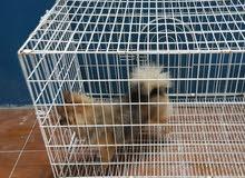 كلب بومرينيان فوكس pomeranian vox