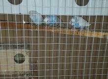 عشة طيور حب اوبداجي ازوج 70  ولعشه للبيع