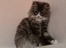 اريد مثل هذا القط او القطه التواصل واتس اب