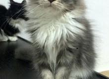 Maine coon pure-breed kittens