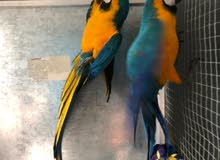 2 Blue And Gold Macaws With Large Cage And Java