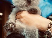 baby Himalayan kitten