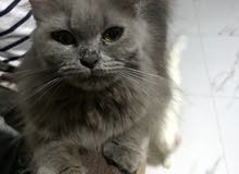grey cat for sale