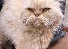 قطط شيرازي هاف بيكي