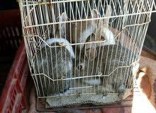 ارانب عربيات كوبيا
