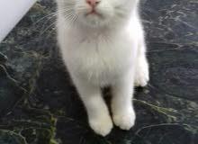 قطه شيرازي على مونفيس