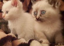 2 قطط فارسيات
