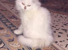 قطه فارسيا للبيع