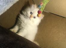 للبيع قطط هملايا العمر شهرين
