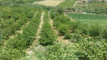 مزرعة جوافة مع بيت ريفي