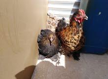 طقم دجاج  من الاخر قزم عمان جبل النصر 0798956691