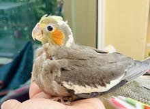 Cockatiel