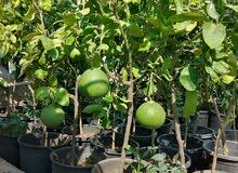 مشاتل الأندلس لإنتاج وبيع جميع انواع الأشجار البلديه والمستورده